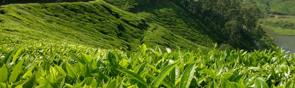 tea-estate